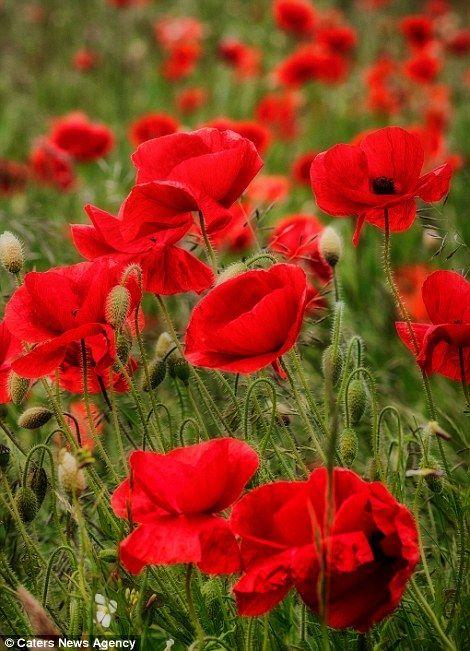 Beautiful Poppy Fields
