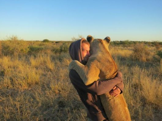Close Encounters Of The Lion Kind