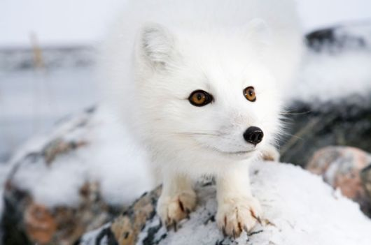 White On White: Arctic Foxes In Canada